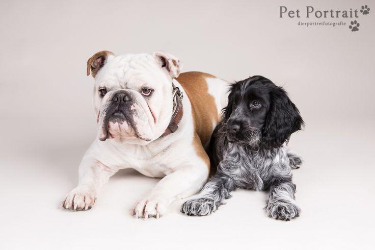 Hondenfotografie Hillegom - Fotoshoot Engelse Bulldog en Cocker Spaniel pup-10