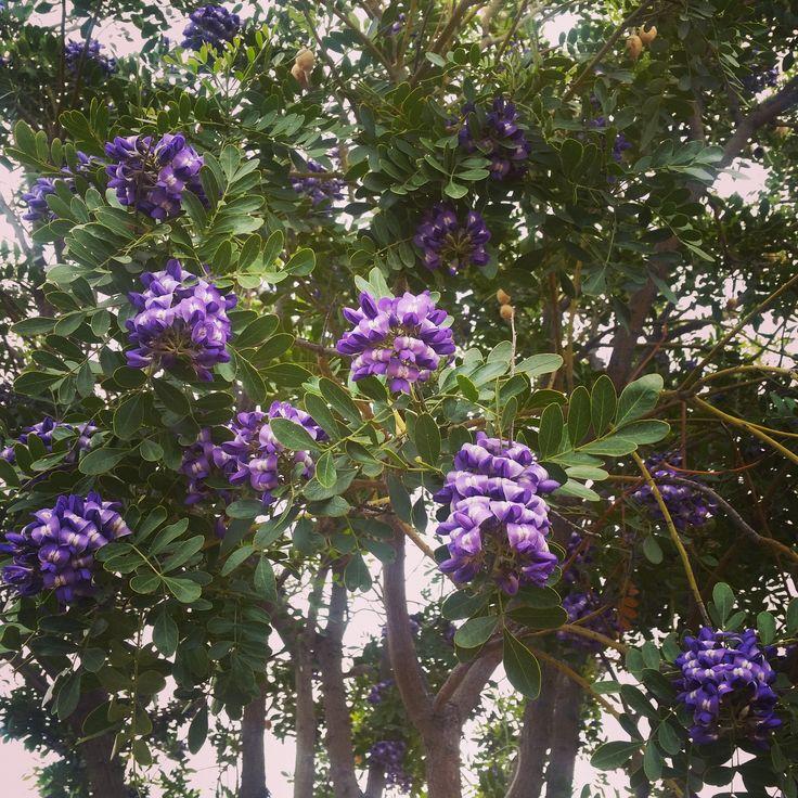 A Purple Robe Locust Tree In Phoenix Az Homespirations