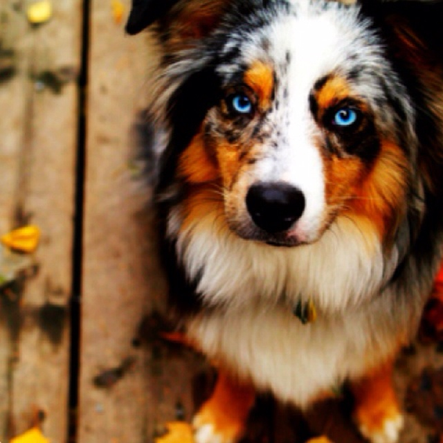 272 Best Images About Australian Classics On Pinterest: Prettiest Dog Ive Ever Seeen