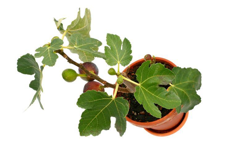 Ein Feigenbaum gedeiht auch im Kübel auf dem Balkon