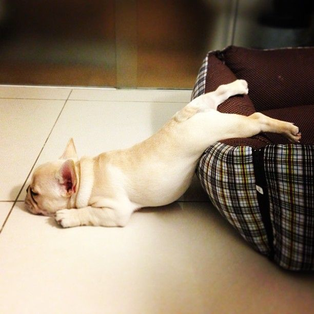 "Another entry for the Frenchie ""Awkward Sleeping Position Olympics""?"