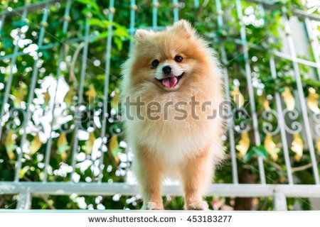 pomeranian dog furry cute smiling. - stock photo