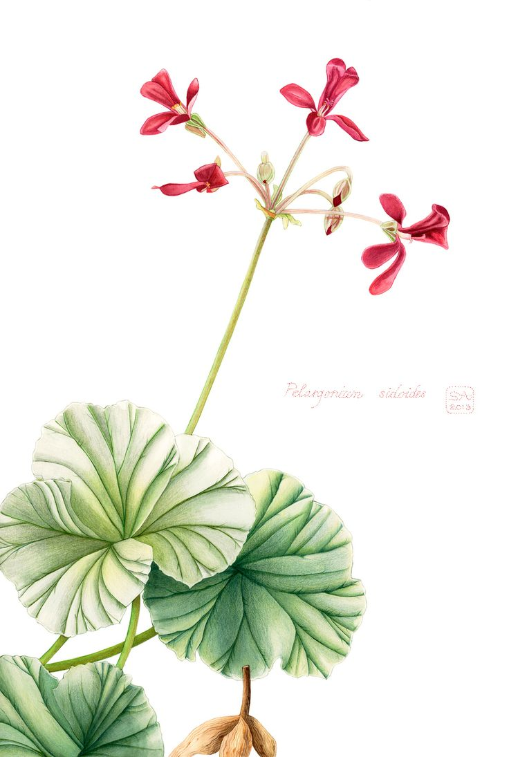 Pelargonium sidoides 2013: Superb quality, limited edition (10 only) archival digital prints on watercolour paper (shown: A2, unframed) ZAR 900 + postage