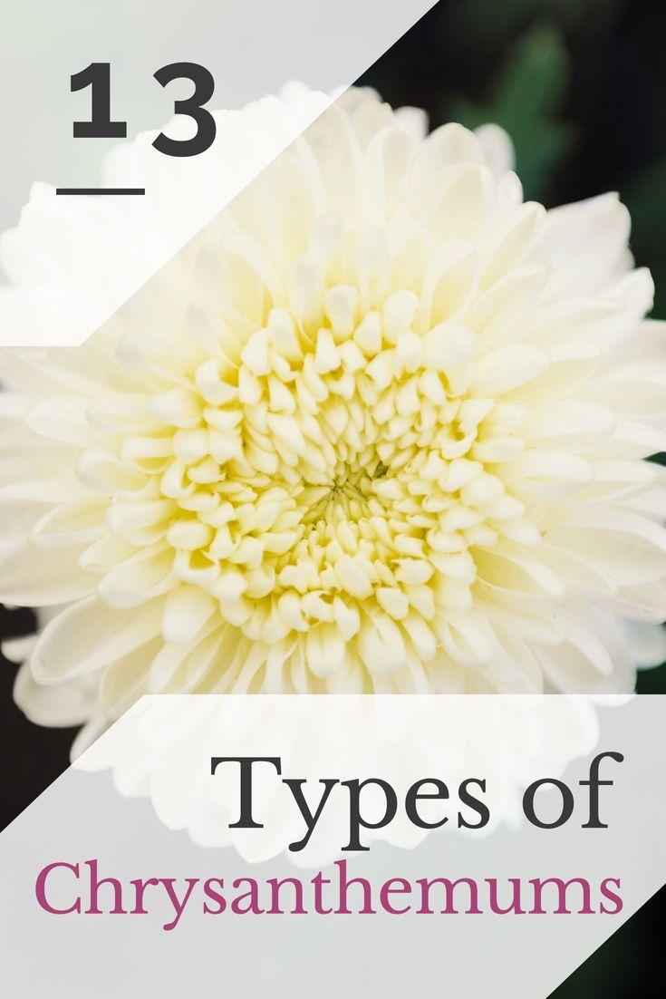 13 Different Types Of Chrysanthemums Plus Planting Tips And Health Benefits Plants Chrysanthemum White Chrysanthemum