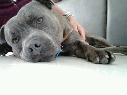 Look at that face. Amazing pedigree blue staffy bull terrier male. Lounging on cold tiles. #blue #staffy #pedigree #storm