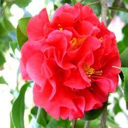 17 meilleures id es propos de arbustes feuillage for Amaryllis ne fait que des feuilles