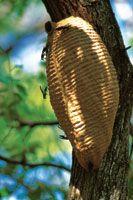 Nido de avispas construido sobre un tronco.