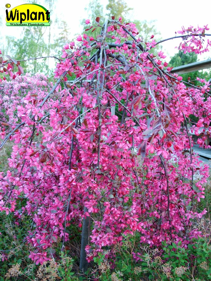 Malus 'Royal Beauty', Hängande prydnadsäppel. Smal hängform med mörkrosa blommmor. Höjd: 1,5 m.