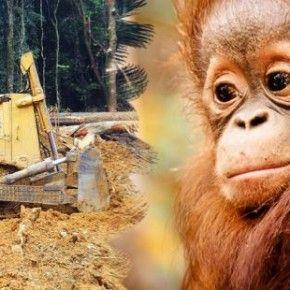 La foresta tropicale è l'habitat degli oranghi e di altri animali che vengono distrutti dalle piantagioni di palma. Firma e diffondi la petizione al governo indonesiano