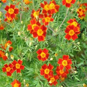 LITEN TAGETES 'Red Gem' i gruppen Ettåriga blomsterväxter hos Impecta Fröhandel (8782)