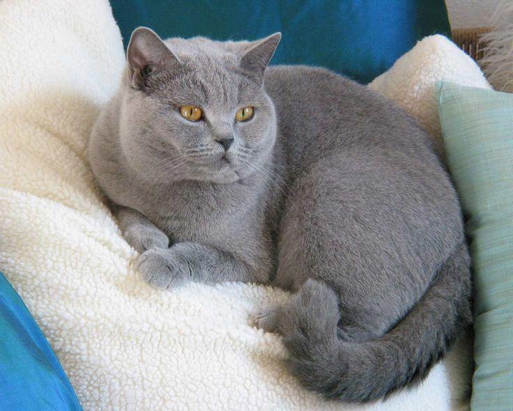 Britisch kurzhaar sind die süßesten Katzen <3