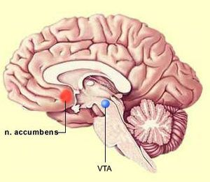 Nucleus accumbens represented by a red dot. This image is under copyleft.