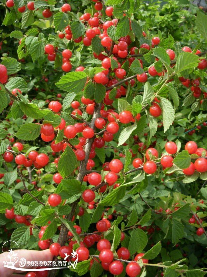 Узнайте, когда лучше и как сажать войлочную вишню, как происходит формирование куста, как правильно обрезать весной и осенью? Правильный уход, плодоношение и опыление, агротехника выращивания войлочной вишни…