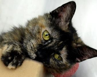"""Hi there! I'm Petula, a 5-year-old teeny tiny kitty! I only weigh 8.5 pounds, but let me tell you, I squeeze in a lot of cute in those few pounds! I was found wandering around Buffalo. Thankfully, I am at the SPCA now waiting for you to add me to your family! Come visit me at the SPCA, 205 Ensminger Road, Tonawanda and be sure to visit their website, YourSPCA.org!"""