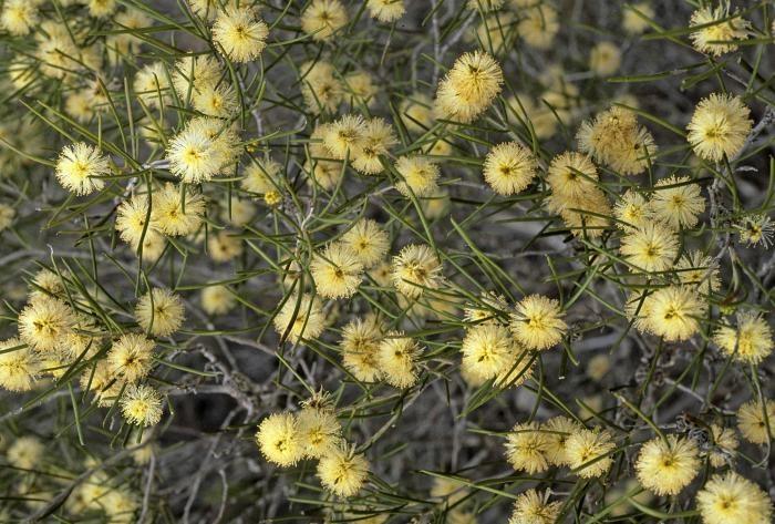 2329 best australian native plants images on pinterest