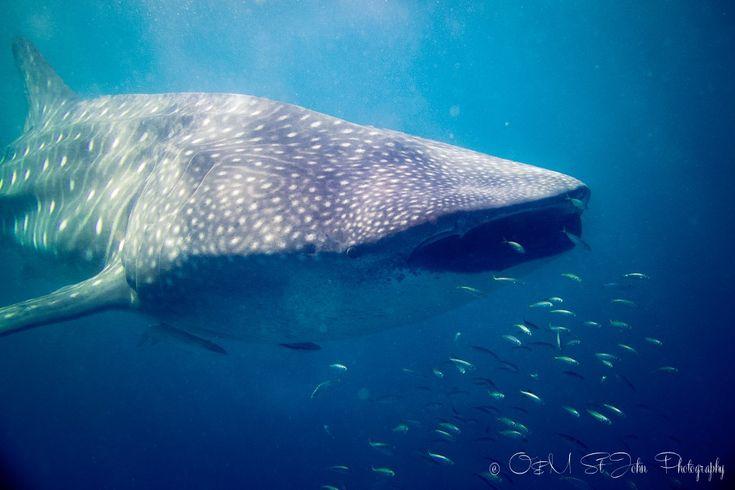 Whaleshark in Ningaloo Reef. Western Australia