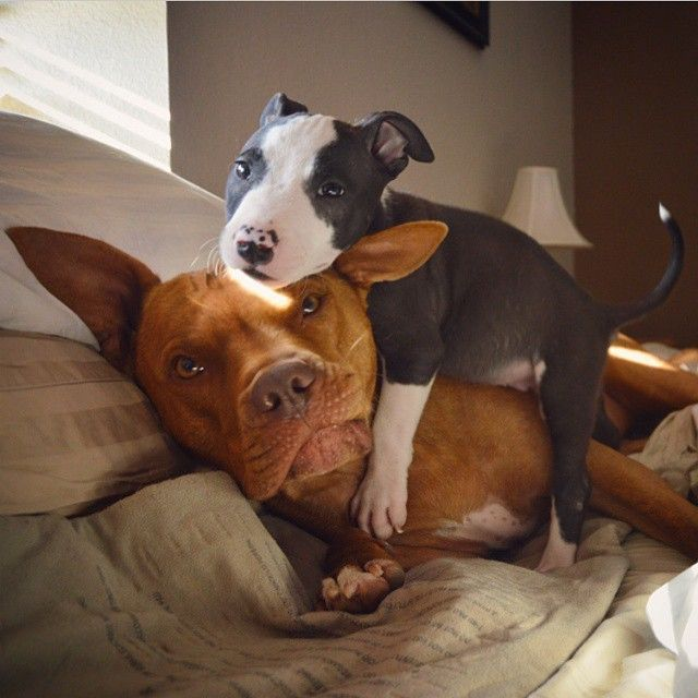 http://www.MyPitbullShop.com #puppy #pup #pitbull #pitbulls #cute #eyes #instagood #dogs_of_instagram #pet #pets #animal #animals #petstagram #petsagram #dogsitting #photooftheday #dogsofinstagram #ilovemydog #instagramdogs #nature #dogstagram #dogoftheda