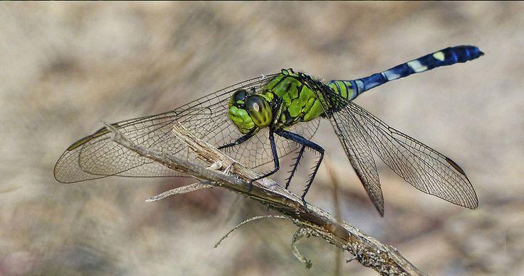 130 Dragonfly