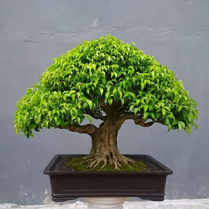 as 25 ideias mais lindas de bonsai ficus no pinterest bonsai. Black Bedroom Furniture Sets. Home Design Ideas