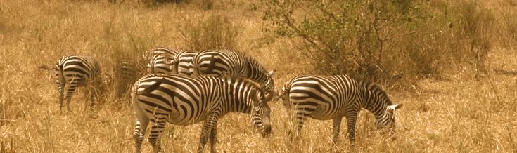 Three species of zebras inhabit the continent of Africa: Burchell's or plains zebra which is the most common, Grevy's zebra found mostly in northern Kenya, and the Equus zebra found mostly in mountainous areas. The plains zebra is distinct for its size (smaller than the Grevy and larger than the Equus) with spiky mane hair, a tail with only a tuft of hair and vertical stripes. Learn more about this unique and beautiful ungulate!