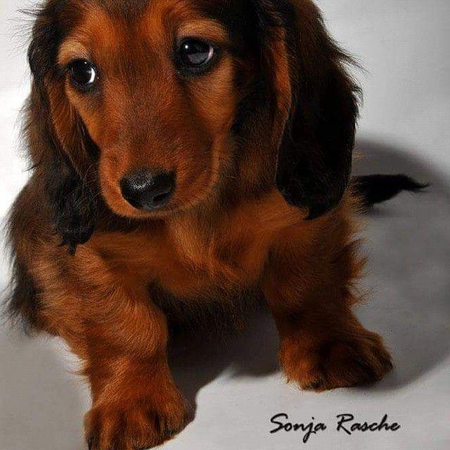Puppy #puppy  #puppylove #dogphotography #hund #dackelwelpen #dachshund                                                                                                                                                                                 Mehr