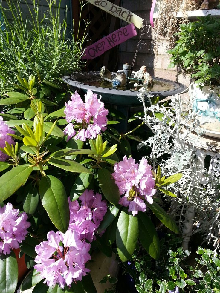 Beautiful rhododendrons and a solar powered bird bath