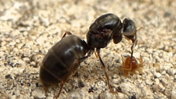 """Big black wingless female ant fighting a tiny brown ant that is biting her antenna on """"flying ant day"""" in Oxfordshire, UK July 2014"""