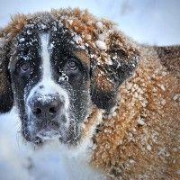 #dogalize Dog Breeds: Saint Bernard temperament and personality #dogs #cats #pets