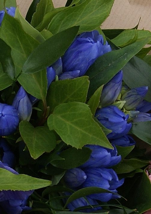 Gentiana | Florissimo - Shropshire | Find flower names in the Wedding Flowers Directory at https://uk.pinterest.com/ByFlorissimo/flowers-directory/.  available Jan-Mar; Aug-Oct.