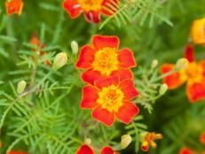 Deer-Resistant Annuals | Flowers and Plants for Your Garden | HGTV: