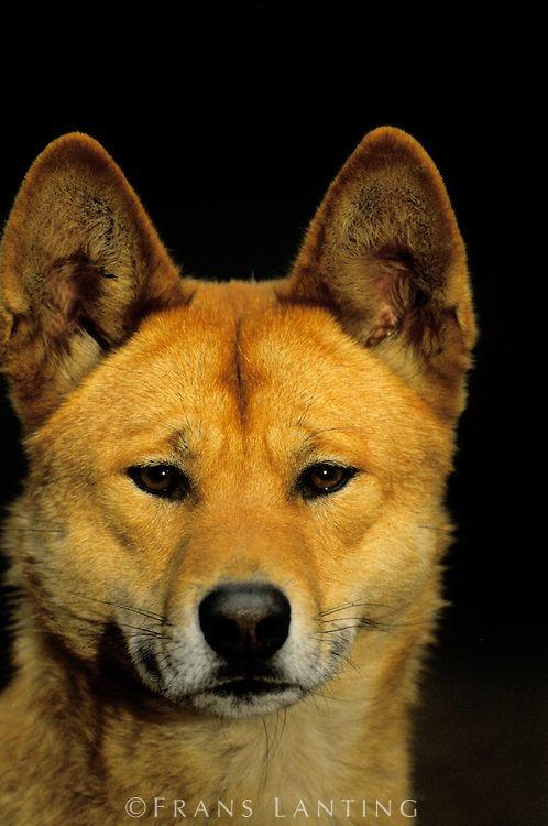 Dingo, Canis lupus dingo, Australia | Frans Lanting