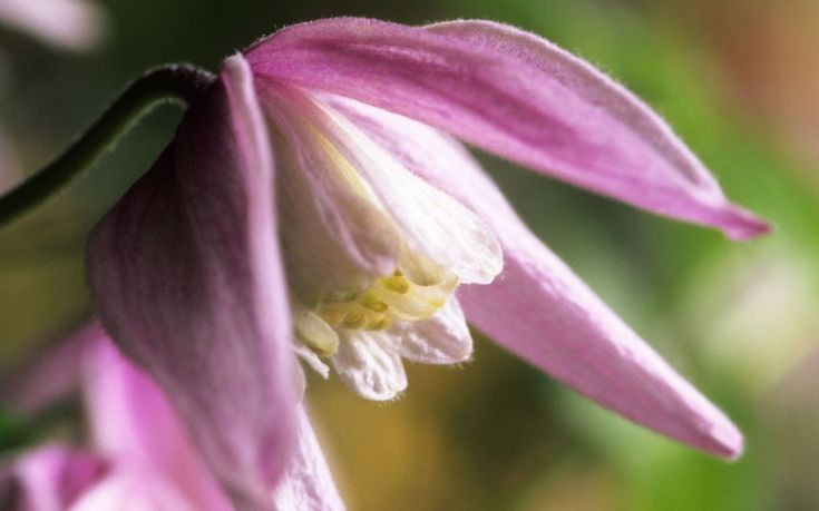Our gardening agony aunt, Helen Yemm, solves your gardening problems.   This time: a clematis that won't flower and moving autumn crocuses