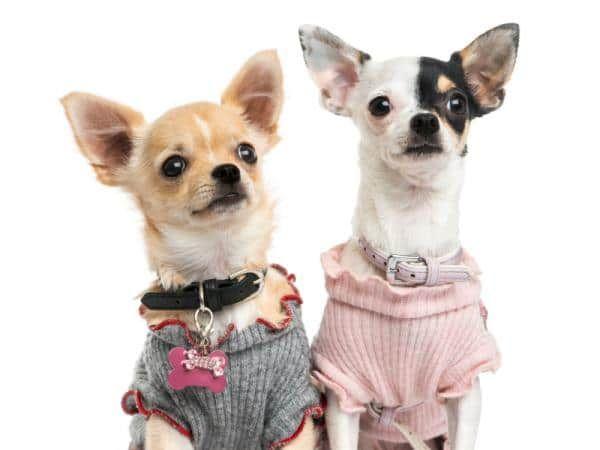 Aprende a confeccionar la ropa para tu propio perro chihuahua, a continuación te mostramos cómo hacer ropa para perros chihuahua paso a paso.