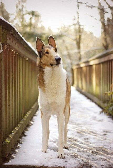 """I met my first Smooth Collie the other day and he kissed me!!☺️. His humans said he really liked me which cheered me up to no end as I was in need of some good energy. I asked his name and it was Karma!!! So all day I just kept saying """"Karma kissed me today! Karma likes me!"""" It was all very zen! Such a beautiful breed. Loving and fun and a beautiful head and face. Animals are the best!!!! He truly changed my day."""