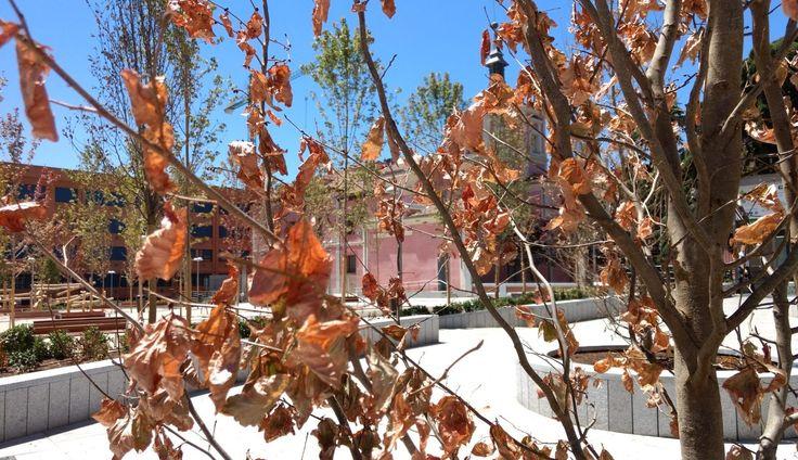 Uno de los árboles secos en los Jardines del Arquitecto Ribera   SOMOS MALASAÑA Un mes ha pasado desde el acto que inauguró, después de nueve años de espera, la reforma de los Jardines del Arquitecto Ribera. Un tiempo que ha servido a los vecinos para empezar a usar el parque de mayor tamaño en Malasaña y Chueca y para empezar a darse cuenta de sus fortalezas y de debilidades que no se habían advertido. Una de las críticas más frecuentes que ha recibido es la falta de agua. La han notado los…