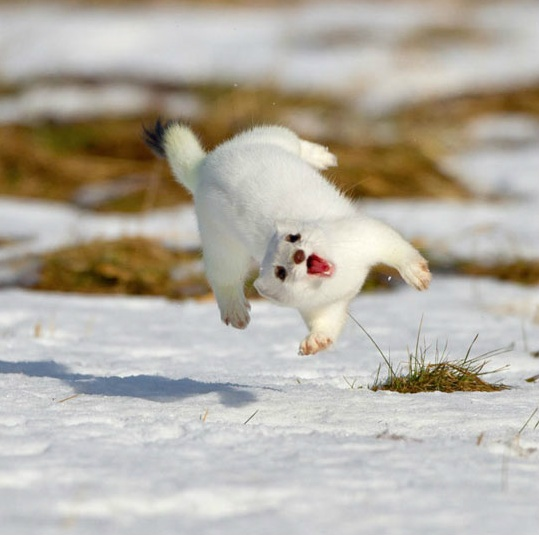 Hoverweasel goes DO A BARREL ROLL.: Ferrets, Happy Dance, Barrels, Funny Animal Pictures, Happy Animal, Snow, Funny Stuff, So Funny, Funnystuff