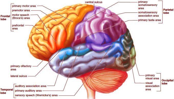 The Lobes Of A Cerebral Hemisphere