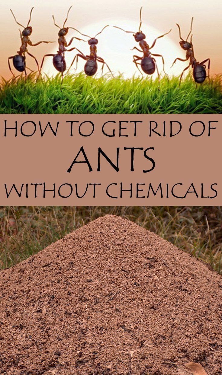 How To Get Rid Of Ants Without Chemicals Exterior Outdoors Garden Pinterest Ant