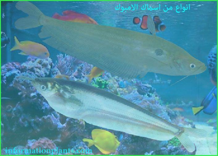 الامبوك Ompok قسم انواع الاسماك سمك انواع الاسماك مع الصور الموقع الزراعي ومنوعات اخرى Fish Pet Pets Animals