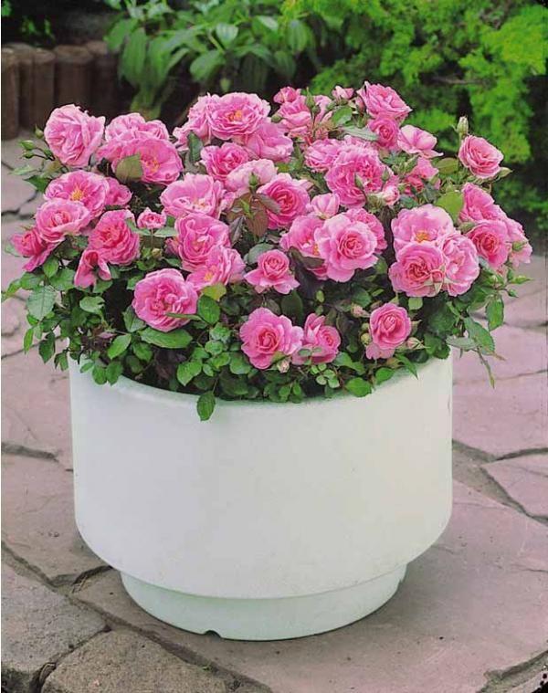 3 Mini-rosiers 'Randilla' roses