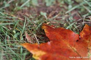 Maple Leaf on Grass
