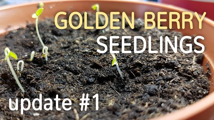 Golden Berry Seedlings Update #1 | Growing Cape Gooseberry from Seed