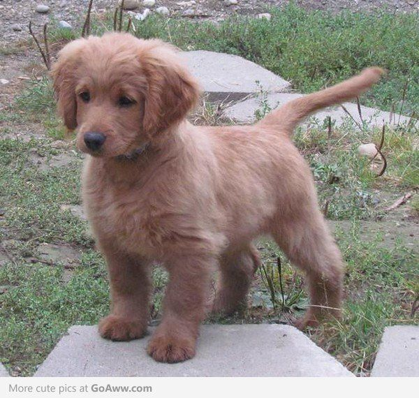"""Full grown golden cocker retriever."" don't believe it but adorable: Animals, Puppy Forever, Full Grown, Puppys, Golden Cocker Retriever, Grown Golden, Puppy, Dog, Golden Retriever"
