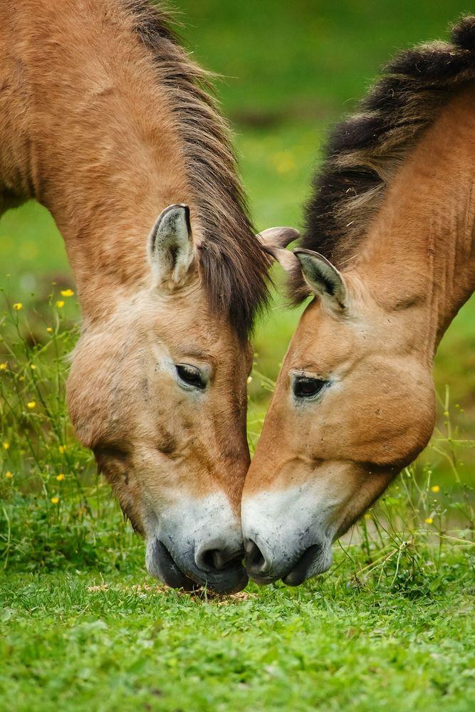 Die einzige Wildpferdart die bis heute in ihrer Wildform überlebt hat...  www.betz-naturfoto.de
