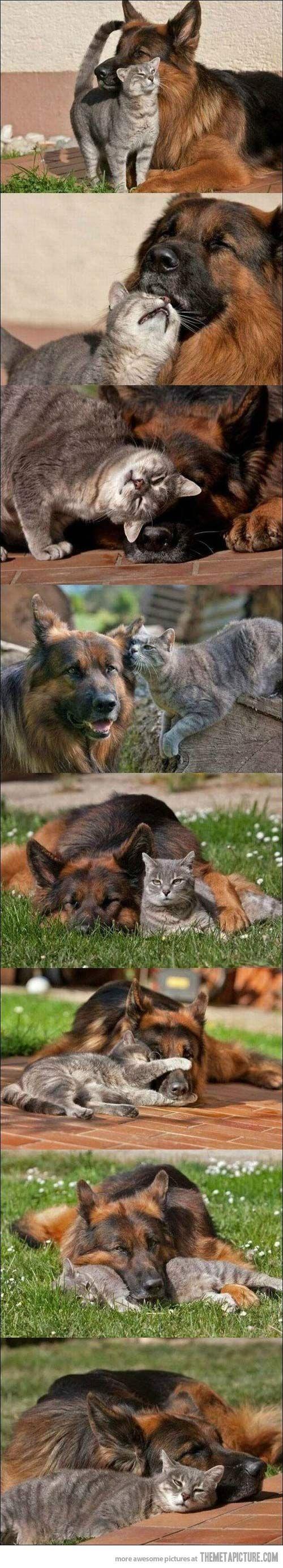 #German #Shepherd with a cat. Best friends!)