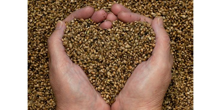 Diferencias entre semillas regulares, feminizadas y autoflorecientes