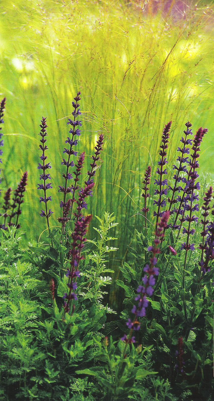 "Feather grass and Salvia verticillata ""Purple Rain"", garden design, landscape design, landscaping"