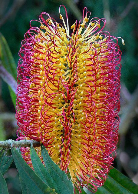 """""""Banksia seminuda"""