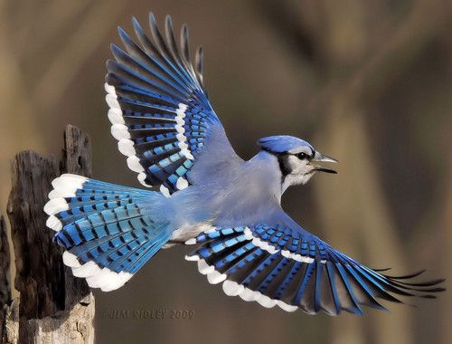 BLUE JAY in flight (Cyanocitta cristata) ©Jim Ridley The Blue Jay is a bird native to North America.  It is resident through most of eastern and central United States and  southern Canada. It  breeds in both deciduous and coniferous forests, and is common near residential areas. The Blue Jay is a moderately slow flier (roughly 32–40 km/h (20-25 mi/h)   and therefore, easy prey for hawks and owls when flying in open areas.  It flies with body and tail held level, with slow wing beats. The ...