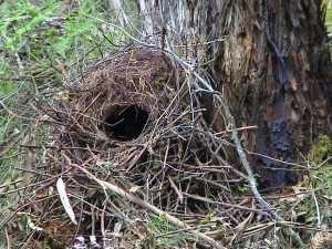 Lyre Birb nest